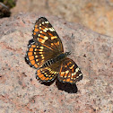 Black Checkerspot