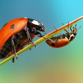 David and Goliath by Ondrej Pakan - Animals Insects & Spiders ( macro, bug, ladybird, ladybug, insect )