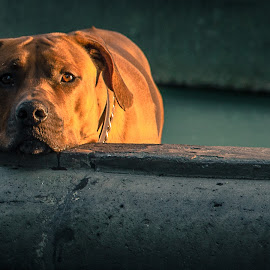 chilled dog by Arnaud rL - Animals - Dogs Portraits ( dogs, joy, pets )