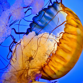 Jellyfish by Luna Falena - Animals Sea Creatures ( marine, light of luna photography, nature, aquarium, tennessee, gatlinburg, jellyfish, animal,  )