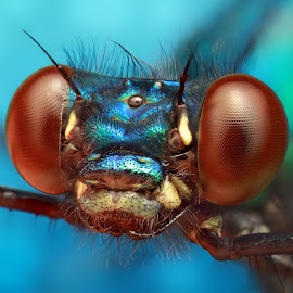 Blue by Ondrej Pakan - Animals Insects & Spiders ( macro, blue, damselfly, dragonfly, insect )