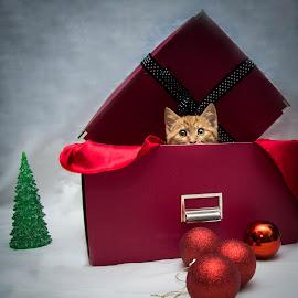 Pick a boo by Mănăilă TeoDora - Animals - Cats Kittens ( gift, kitten, christmas, play, constanta )