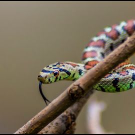 by Lucijan Španić - Animals Reptiles ( snake, reptiles, animals, reptile, snakes, animal )