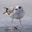 Audouin's Gull; Gaviota de Audouin