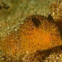 Jorunna Nudibranch