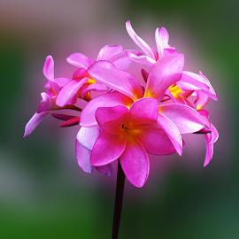 merah muda by Git Gitos - Flowers Flower Gardens ( flower garden, the blossoms, pink )