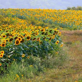 sunflower fields by Cosmin Popa-Gorjanu - Uncategorized All Uncategorized ( sunflowers, Hope )
