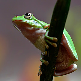 by Yadi Setiadi - Animals Amphibians