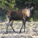 Eurasian Moose.