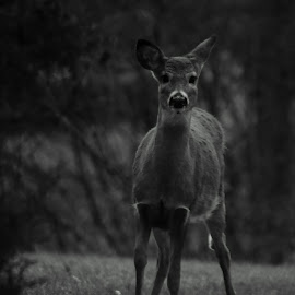 Curious Deer by Dustin White - Novices Only Wildlife ( curious, park, nature, black and white, deer,  )