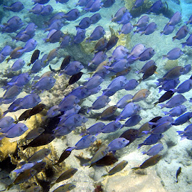 Rush hour by Terry Niec - Landscapes Underwater ( tangs, underwater, fish, norman island, bvis )
