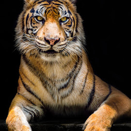 STYLE FOR ID PHOTO by Gaz Makarov - Animals Lions, Tigers & Big Cats