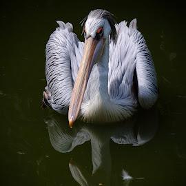 Pélican by Bruno Gueroult - Animals Birds ( pentax kx, pélican, reflet, oiseaux, animaux )