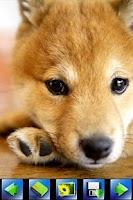 Screenshot of Dog wallpaper,Shiba