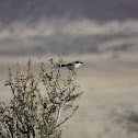 Great Grey Shrike, Northern Grey Shrike, or Northern Shrike