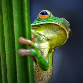 Hello by Harry Aiee - Animals Amphibians