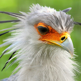Secretary Bird by Ralph Harvey - Animals Birds