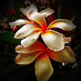 Frangipani. by Dave  Horne - Flowers Tree Blossoms