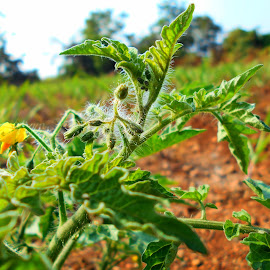 tomato by Vinayak Shinde - Novices Only Abstract ( plant, abstract, flowering, tomato, plants, leaves, photography )