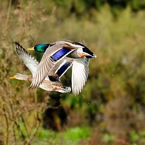Mallard Pair in flight. by Steve Forbes - Animals Birds ( bird, fly, flight,  )
