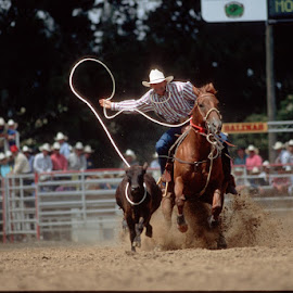 Salinas Rodeo by Jim Downey - News & Events Sports ( rodeo event, salinas rodeo, rodeo action, rope event, cattle rustling )