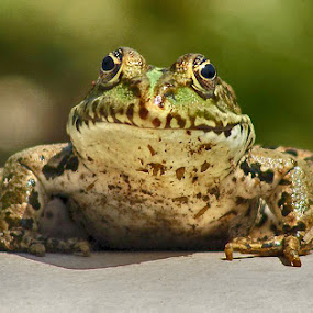 frog by Zeljko Kustec - Animals Amphibians