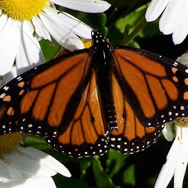 Monarch by Clara Scarano Scubla - Novices Only Wildlife ( butterfly, daisies, flowers )