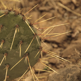Sad Cactus by Chris Everett - Nature Up Close Other plants ( cactus cacti needle spine sepia ground )