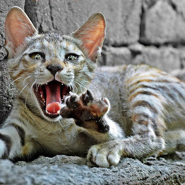 Cat Attack by Shekhar Rana - Animals - Cats Playing ( cat, danger, wild.cat play, animal )