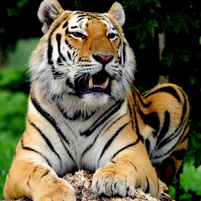 Tiger by Ralph Harvey - Animals Lions, Tigers & Big Cats ( cat, tiger, wildlife, ralph harvey, marwell zoo, animal )