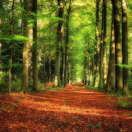 forest by Huybrighs Marc - Landscapes Forests ( autumn, m..., green, trees, belgium, brown, leaves, lane )