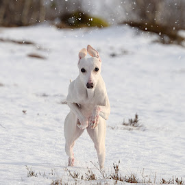 Whippet running by Marius Birkeland - Animals - Dogs Playing ( dogs, snow, dog, running, whippet,  )