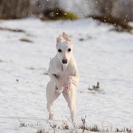 Whippet running by Marius Birkeland - Animals - Dogs Playing ( dogs, snow, dog, running, whippet,  )
