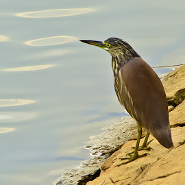 Waiting! by (GG) Girinath G - Animals Other ( bird, nature, wildlife, lake, nikon, photography )