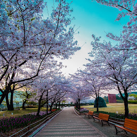 Down the trail by Keith Homan - City,  Street & Park  City Parks ( cherry, japan, park, bench, path, south korea )