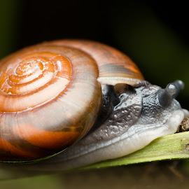 Big Shell Snails by Chong Hoo Chuah - Animals Insects & Spiders ( snails;macro;nature;, insect;creature )