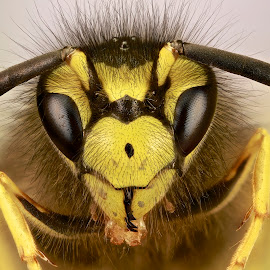 Hymenoptera by Sergio Frada - Animals Insects & Spiders ( portrait insects )