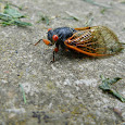 World Science Festival Cicada Count