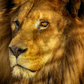 The king by Rubens Campos - Animals Lions, Tigers & Big Cats ( cats, lion, leão, big, king )
