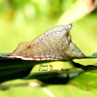 Smaller Parasa Moth Caterpillar