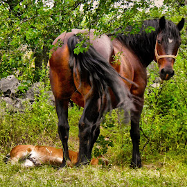by Slavko Marcac - Animals Horses