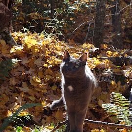 Lovely LeeLoo in Autumn! by Susan Rogala - Animals - Cats Portraits ( michigan, cat, autumn, colors, forest )
