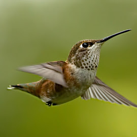 Hummingbird by Sheldon Bilsker - Animals Birds ( bird, flight, park, nature, hummingbird )
