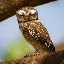 Inner Peace by Gurdyal Singh - Animals Birds ( bird, spotted, shut, peace, owl, gurdyal singh, meditation, sleep, eyes )
