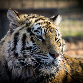 by Tim Gritzuk - Animals Lions, Tigers & Big Cats