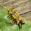 Spiny Oak Slug Moth (larva)