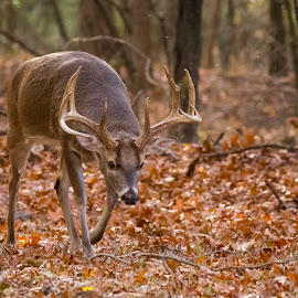Looking for a Date by Gretchen Steele - Animals Other Mammals ( whitetail deer, whitetail deer during rut, whitetail deer with antlers, whitetail buck, deer )