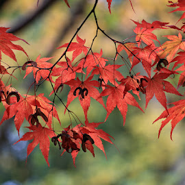 Autumn Leaves by Ceri Jones - Nature Up Close Trees & Bushes ( red, season, autumn, green, leaf, leaves, fall, color, colorful, nature,  )