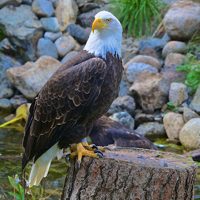 Stump Rest by  J B  - Animals Birds ( bird, eagle, american bald eagle, animal )