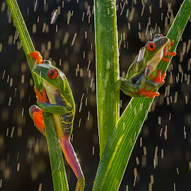 Rain & Shine by Kutub Macro-man - Animals Amphibians ( macro, raining, nature, red eye tree frog, amphibians, close-up, rain, animal, #GARYFONGPETS, #SHOWUSYOURPETS )